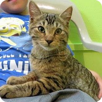 Domestic Shorthair Cat for adoption in Janesville, Wisconsin - Mack