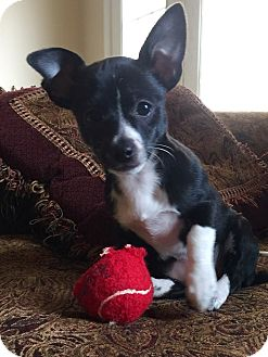 Chihuahua Mix Puppy for adoption in Williamsburg, Virginia - NEMO