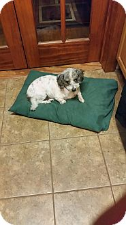 Poodle (Miniature)/Dachshund Mix Dog for adoption in Vancouver, British Columbia - Tank