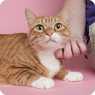 Domestic Shorthair Cat for adoption in Wilmington, Delaware - Izzy