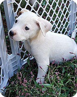 Labrador Retriever/Beagle Mix Puppy for adoption in West Nyack, New York - Sherry