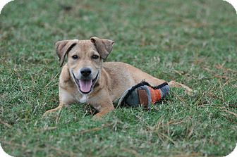 Labrador Retriever Mix Puppy for adoption in Gorham, Maine - Boris