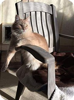 Domestic Longhair Cat for adoption in Gilbert, Arizona - Butters