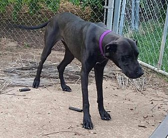 Great Dane Mix Dog for adoption in Wichita Falls, Texas - Daisy