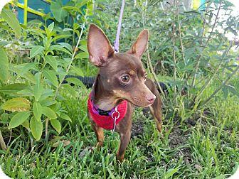 Chihuahua Mix Dog for adoption in San Antonio, Texas - Tiki