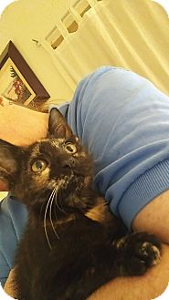 Calico Kitten for adoption in Tampa, Florida - Paint
