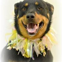 Adopt A Pet :: Lulu - Lake Havasu City, AZ