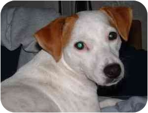 Jack Russell Terrier Dog for adoption in Thomasville, North Carolina - Daisy