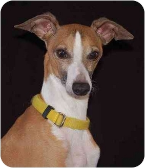 Italian Greyhound Dog for adoption in Mora, Minnesota - Buster