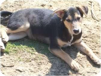 Sheltie, Shetland Sheepdog Mix Puppy for adoption in Harrisburgh, Pennsylvania - Gail