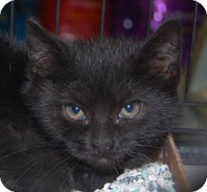 Domestic Shorthair Kitten for adoption in Brooklyn, New York - Emma
