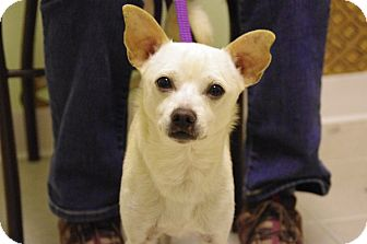 Chihuahua Mix Dog for adoption in Elyria, Ohio - Nico