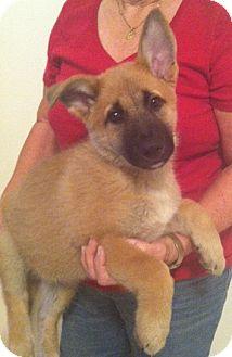 German Shepherd Dog Mix Puppy for adoption in Nuevo, California - Maxwell