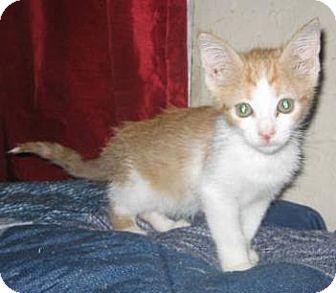 Domestic Shorthair Kitten for adoption in Chandler, Arizona - Cheeto