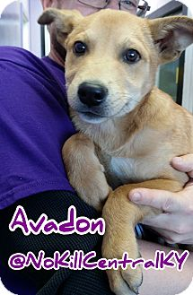 Basenji/Shepherd (Unknown Type) Mix Puppy for adoption in Lancaster, Kentucky - Avadon