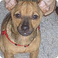 Adopt A Pet :: Gumbo - Seattle, WA