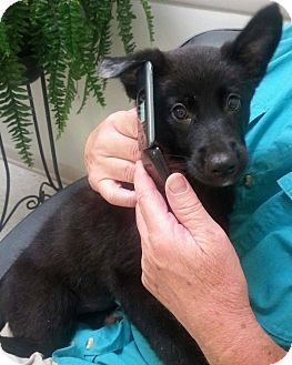 German Shepherd Dog Mix Puppy for adoption in New Oxford, Pennsylvania - Barb
