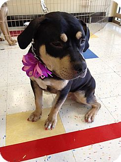 Staffordshire Bull Terrier/Rottweiler Mix Dog for adoption in Edgewater, New Jersey - Allie