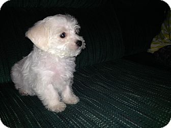 Maltese/Westie, West Highland White Terrier Mix Puppy for adoption in East Hartford, Connecticut - Comet