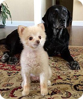 Pomeranian/Pomeranian Mix Dog for adoption in calimesa, California - Foxy