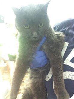 Domestic Shorthair Cat for adoption in Darlington, South Carolina - Sylvie