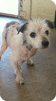 Terrier (Unknown Type, Small) Dog for adoption in Cadiz, Ohio - CASPER