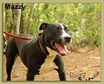 Labrador Retriever/American Staffordshire Terrier Mix Dog for adoption in Sarasota, Florida - Mazzy