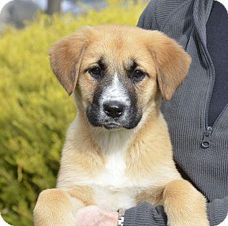 German Shepherd Dog/Australian Shepherd Mix Puppy for adoption in Pleasanton, California - Ivy