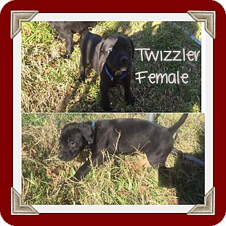 Labrador Retriever Mix Puppy for adoption in Austin, Texas - Puppy Twizzler