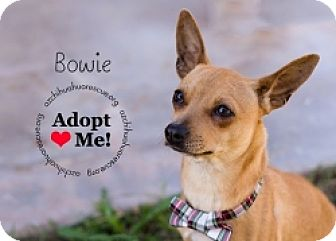 Chihuahua Mix Dog for adoption in Mesa, Arizona - Bowie