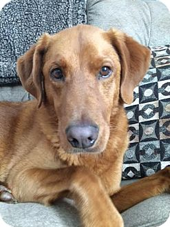 Golden Retriever/Hound (Unknown Type) Mix Dog for adoption in Knoxville, Tennessee - Brody