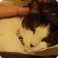 Domestic Shorthair Cat for adoption in Warren, Michigan - Aria