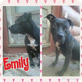 Bulldog/Labrador Retriever Mix Dog for adoption in Cranston, Rhode Island - Emily