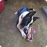 Terrier (Unknown Type, Medium)/Italian Greyhound Mix Dog for adoption in Tauton, Massachusetts - Tillman