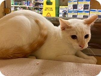 Siamese Kitten for adoption in Houston, Texas - Cupid