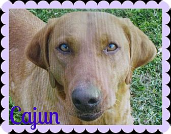 Labrador Retriever Dog for adoption in Valley City, North Dakota - Cajun (Courtesy Listing)