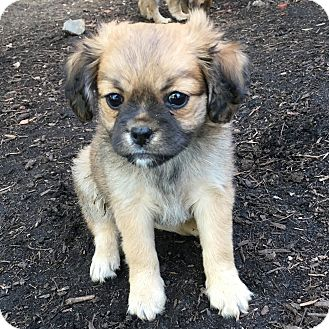 Spaniel (Unknown Type)/Pug Mix Puppy for adoption in San Diego, California - Peaches