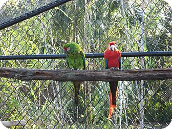 Macaw for adoption in Christmas, Florida - Fruit Loop