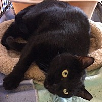 Adopt A Pet :: Black Beauty - Satellite Beach, FL