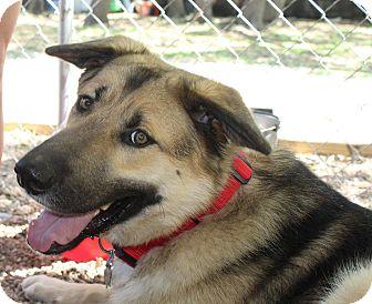 German Shepherd Dog Dog for adoption in Wimberley, Texas - Ray