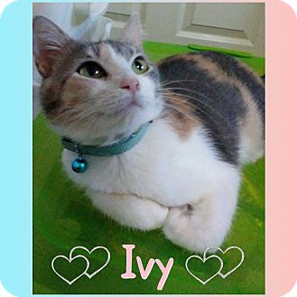 Domestic Shorthair Kitten for adoption in Jeffersonville, Indiana - Ivy
