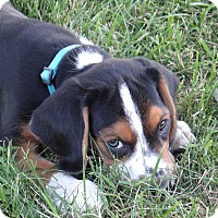 Adopt A Pet :: Freckles - ADOPTION PENDING! - Hillsboro, IL