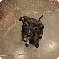 Adopt A Pet :: Scruffy - HAGGERSTOWN, MD