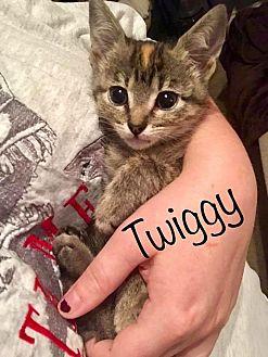 Calico Kitten for adoption in Wichita Falls, Texas - Twiggy