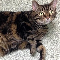 Domestic Shorthair/Domestic Shorthair Mix Cat for adoption in Anderson, Indiana - Leo