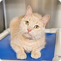 Domestic Shorthair Cat for adoption in Seville, Ohio - Kiko-Fee Waived
