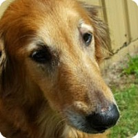 Adopt A Pet :: Sweetie - Denver, CO