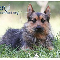 Adopt A Pet :: Benji - South Bend, IN