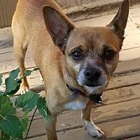 Adopt A Pet :: Braxton - Pittsburg, KS