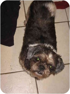 Shih Tzu Dog for adoption in Cincinnati, Ohio - Bootsy: Purebred